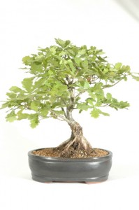 English Oak Bonsai Tree Quercus Robur Bonsai Trees For Sale Uk