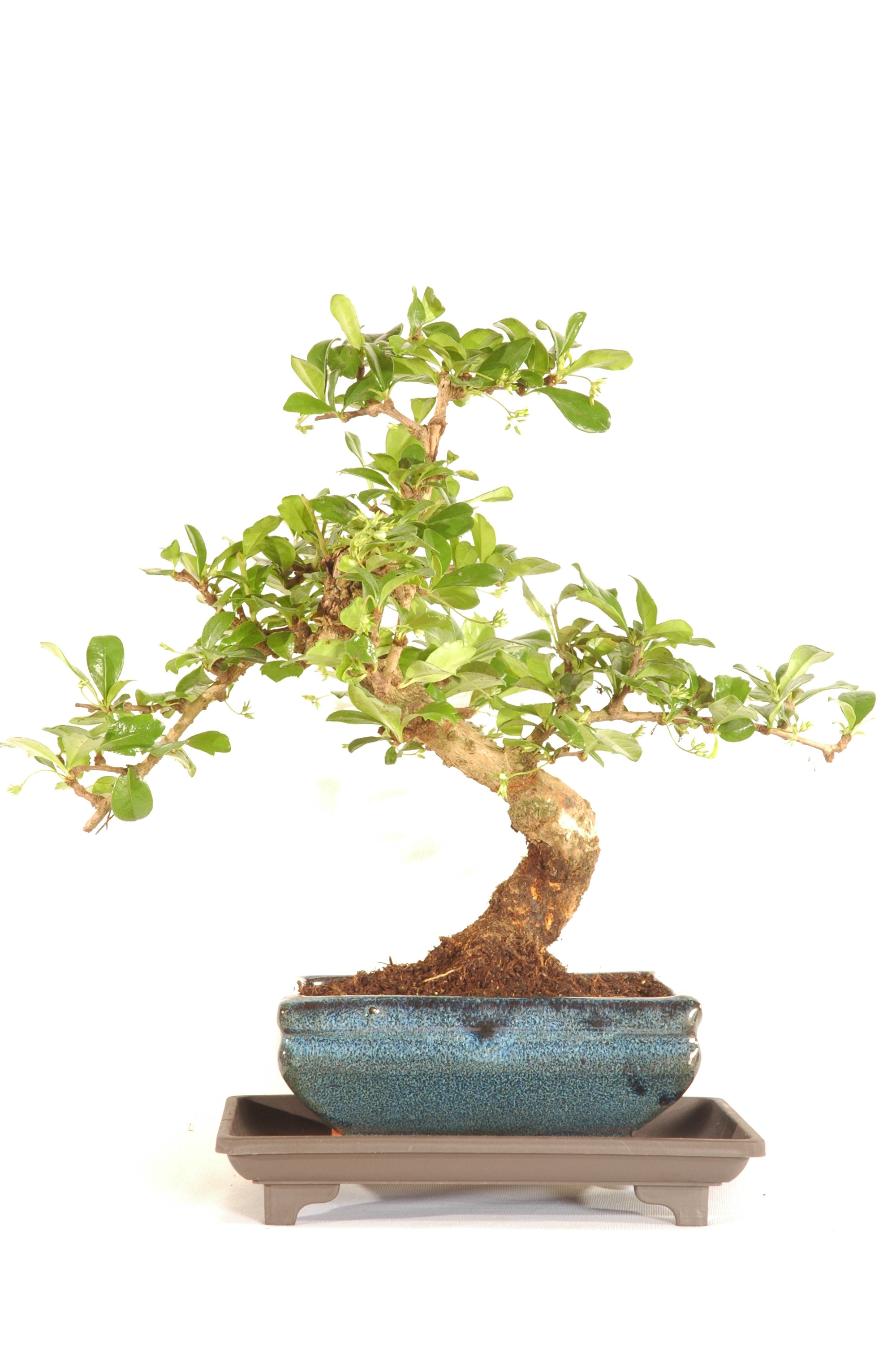 Oriental Tea Tree Indoor Bonsai Carmona Microphylla Bonsai Trees For Sale Uk