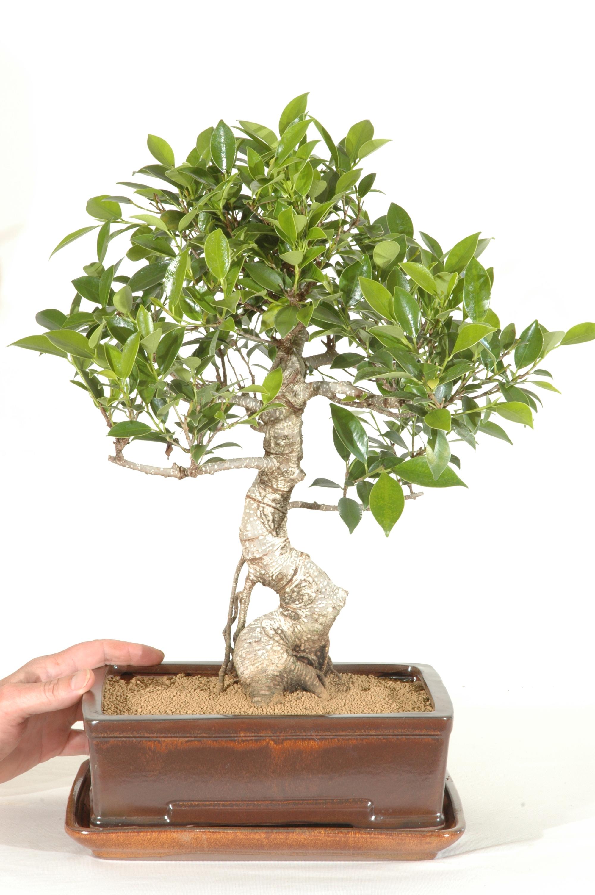 Indoor Bonsai Ficus Retusa Fig Bonsai Tree Bonsai Trees For Sale Uk