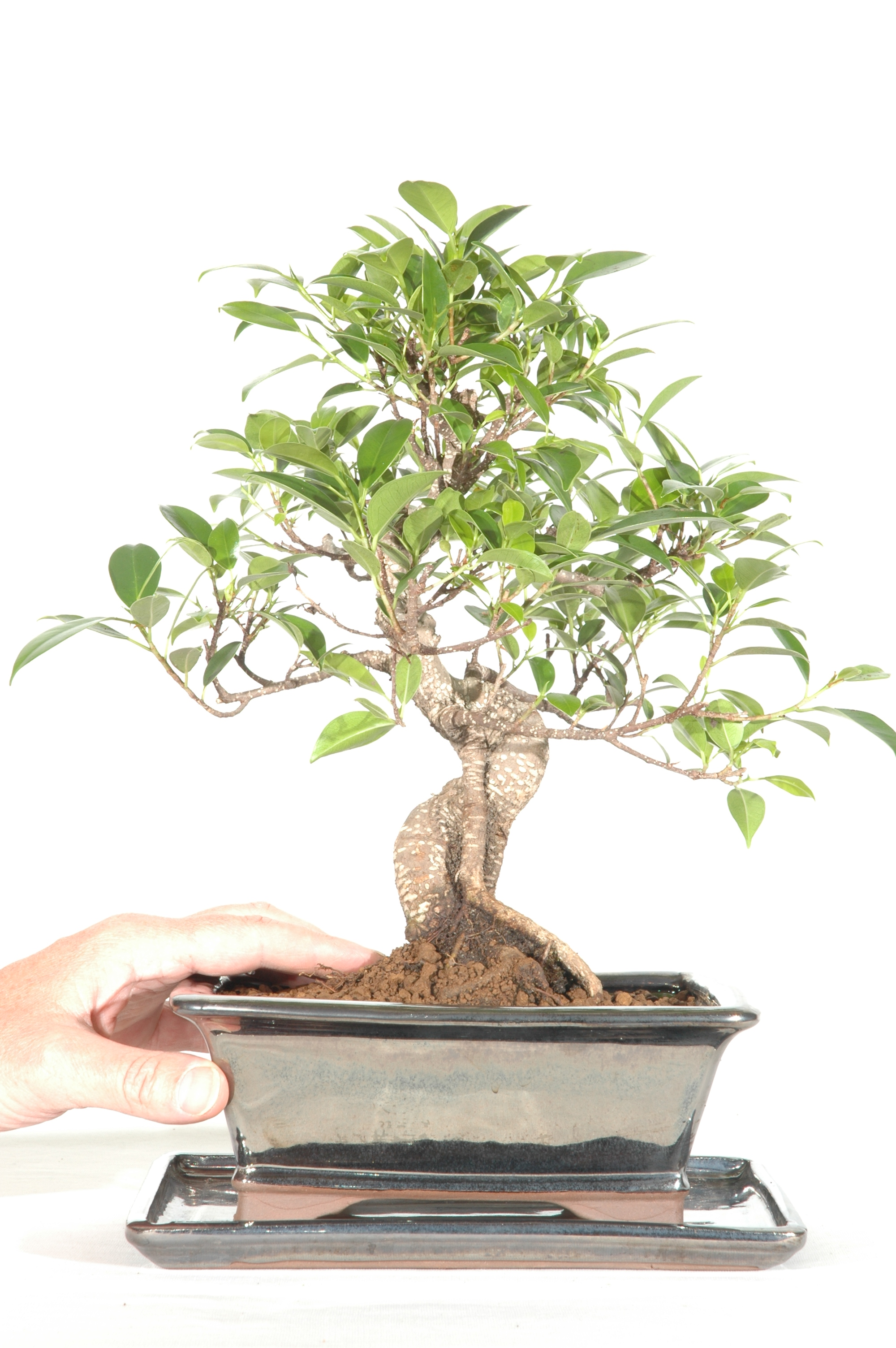 Indoor Bonsai Ficus Retusa Fig Bonsai Tree Bonsai Trees For Sale Uk