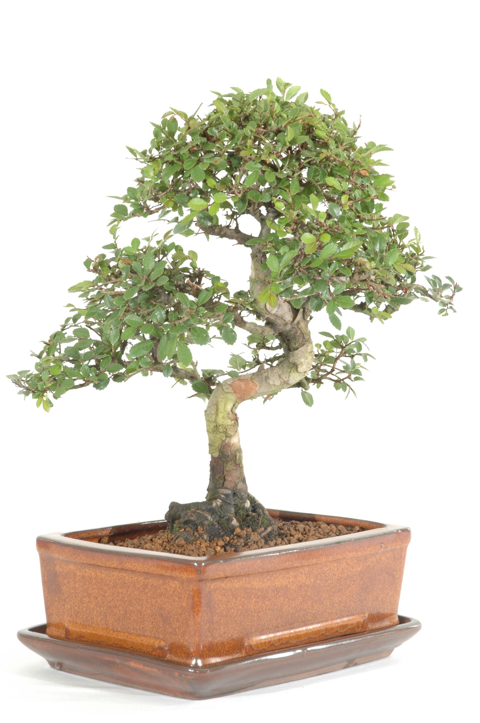Chinese Elm Bonsai Description Care Bonsai Trees For Sale Uk