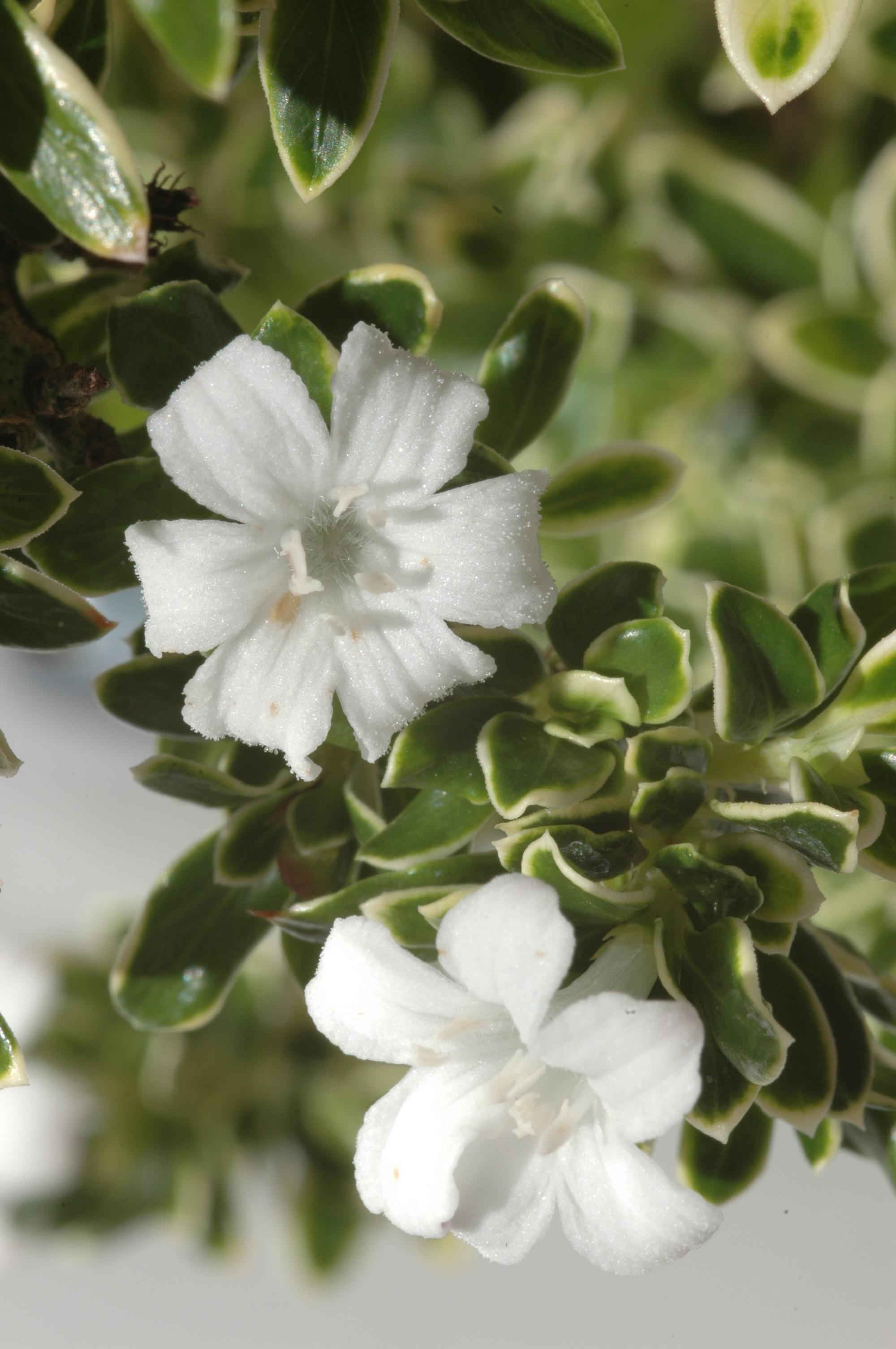 Now Ready For Sale Flowering Serissa Foetida Bonsai Bonsai Trees For Sale Uk