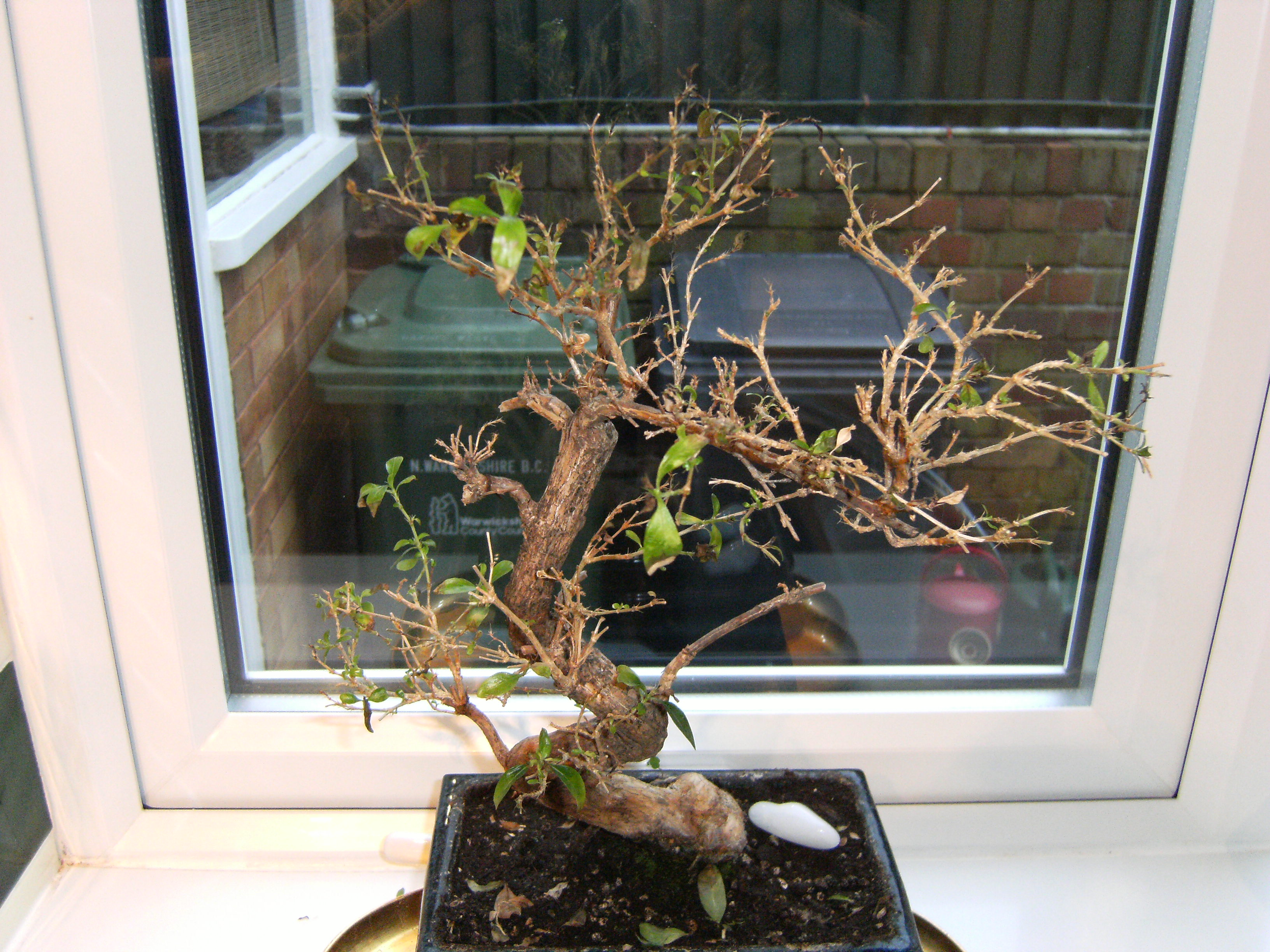 Question About Black Tips On The Leaves Of A Serissa Bonsai Tree Bonsai Trees For Sale Uk