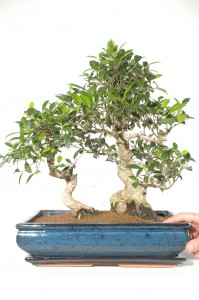 Which Indoor Bonsai Would Be Suitable For A Shady Living Room Bonsai Trees For Sale Uk