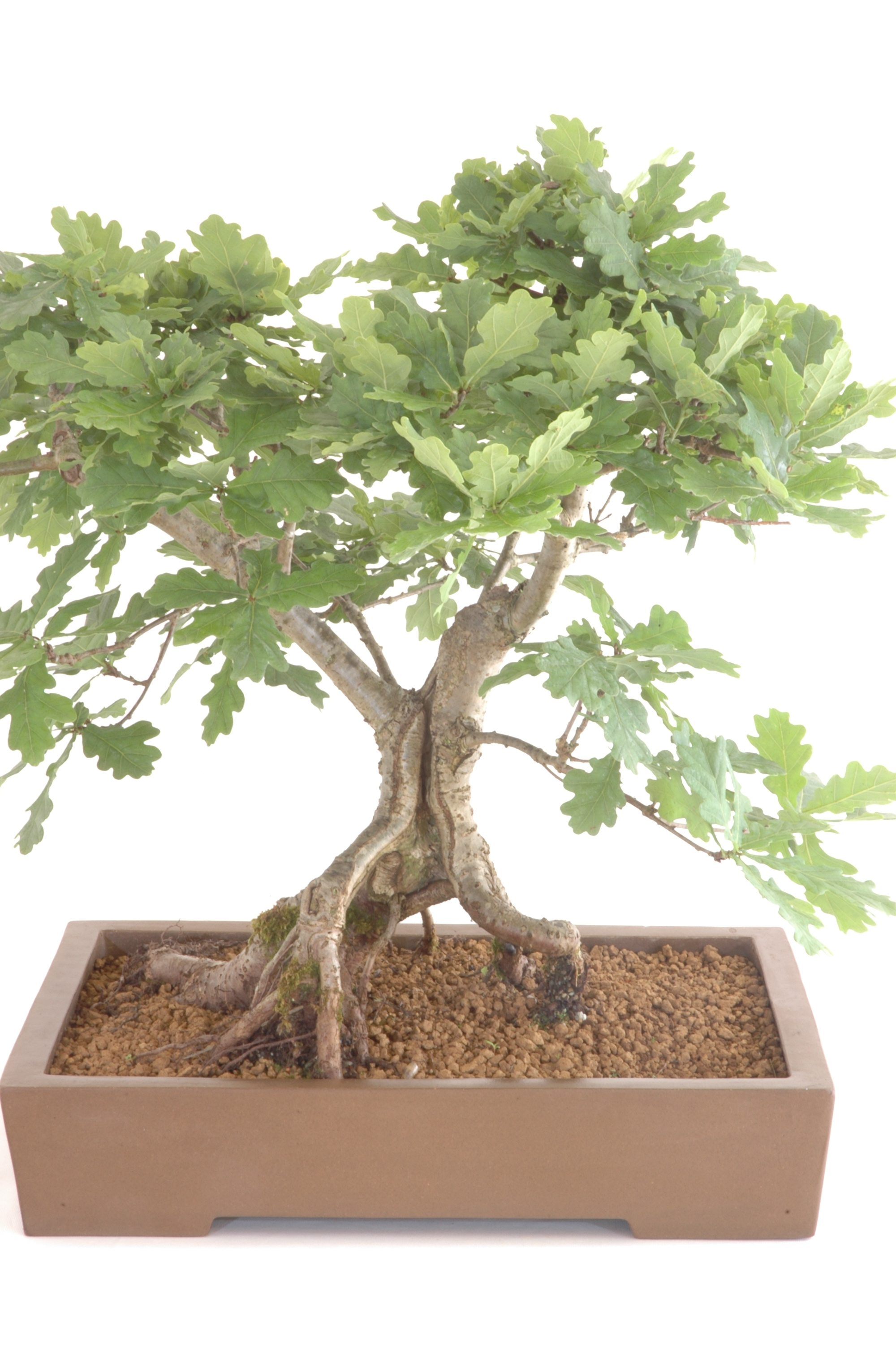 Stunning English Oak Bonsai Tree Bonsai Trees For Sale Uk