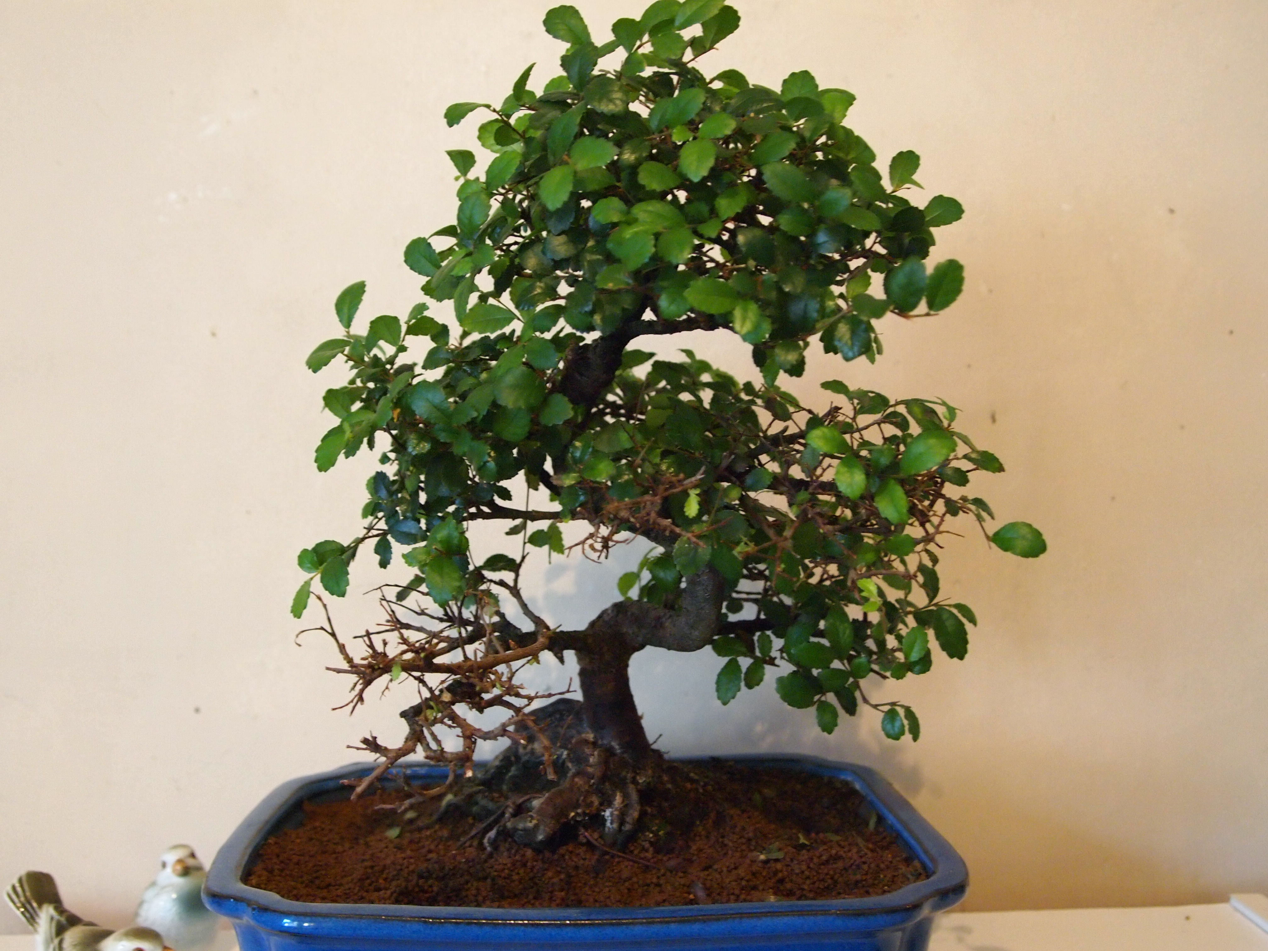 Great Question From Daisy Symptoms Of Over Watering A Chinese Elm Indoor Bonsai Tree Bonsai Trees For Sale Uk