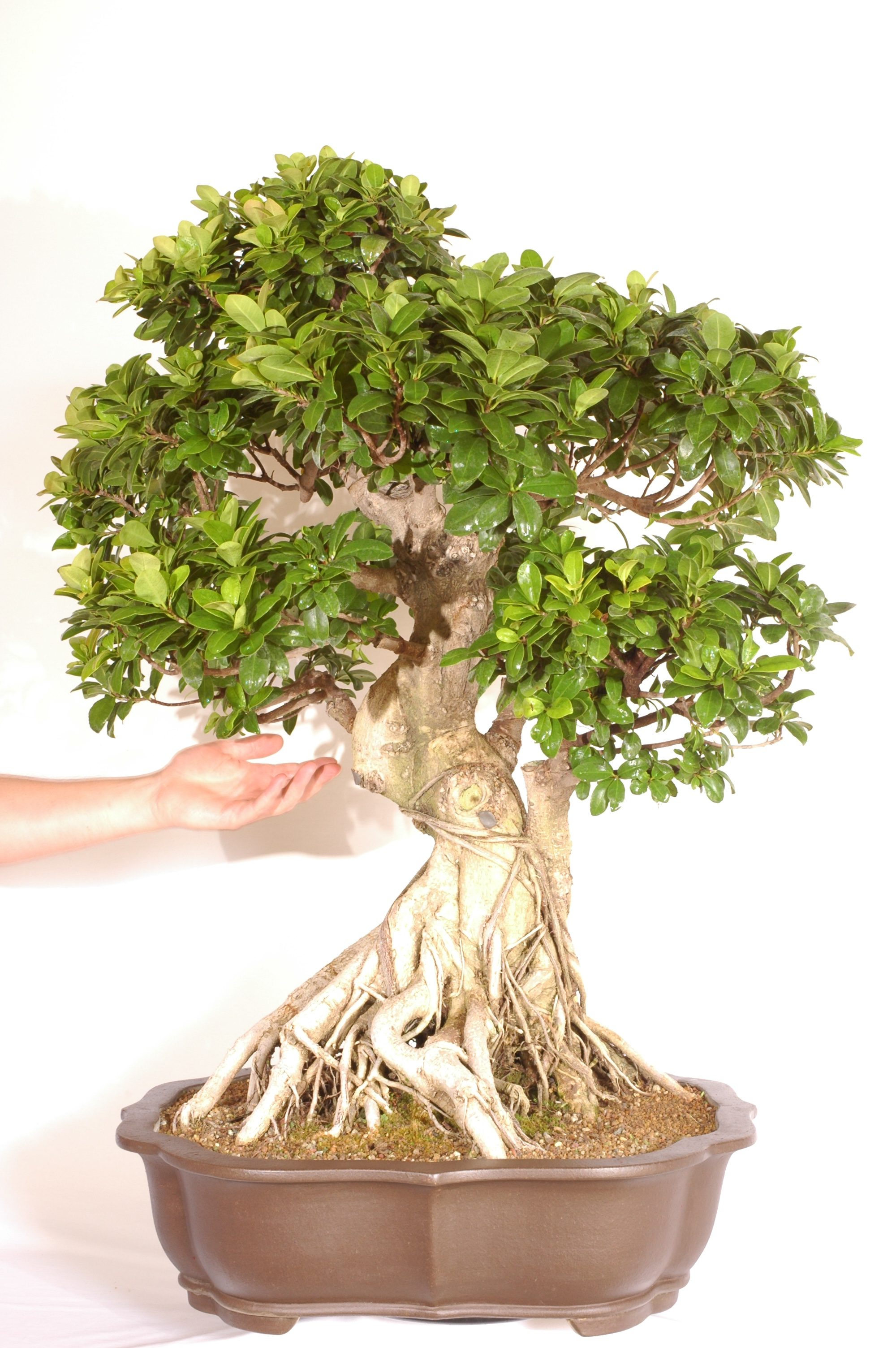 Ficus Retusa Banyan Fig Indoor Bonsai Tree Bonsai Trees For Sale Uk