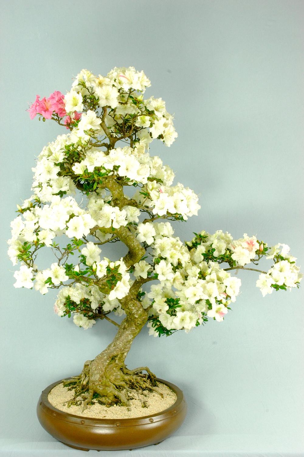 Specimen Japanese Satsuki Azalea Bonsai 60 Years Bonsai Trees For Sale Uk