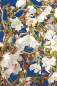 cherry bonsai flowers