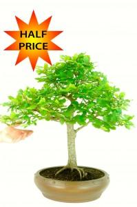 Stunning Large Mature Beech Bonsai Tree (Fagus sylvatica) WAS £595.00    NOW ONLY £297.50