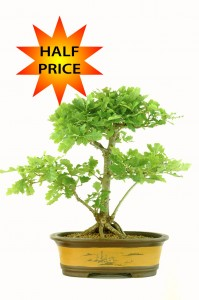 Stunning English Oak Bonsai Tree (Quercus robur) WAS £350.00    NOW ONLY £175.00