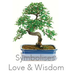 Chinese Elm (Ulmus parvifolia) indoor bonsai
