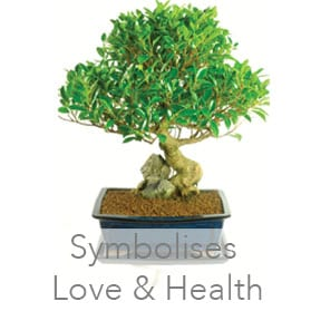 Ficus indoor bonsai for Sale