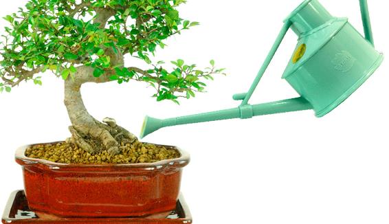 Watering Indoor Bonsai Trees