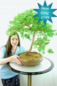 English Maple Bonsai