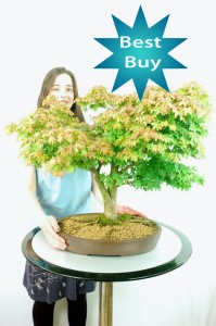 Japanese Maple (Acer palmatum) Bonsai Tree