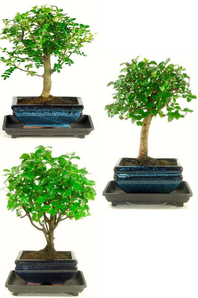Triple indoor bonsai pack