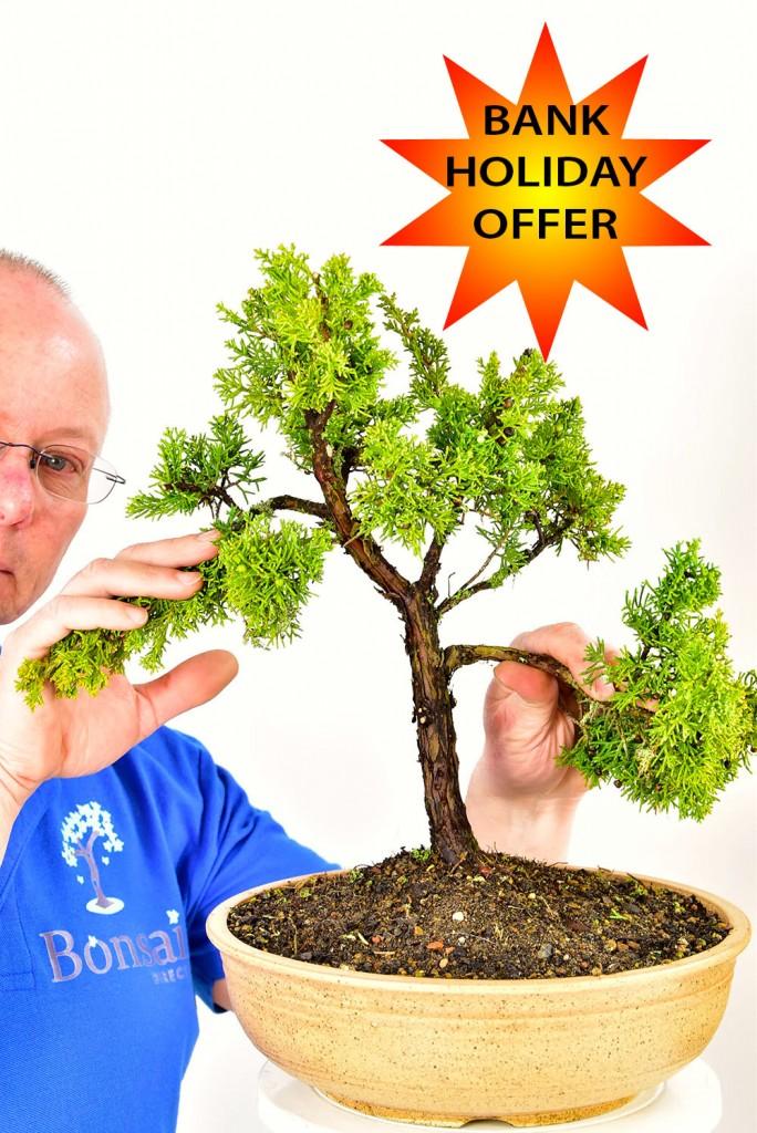 Juniper bonsai tree offer
