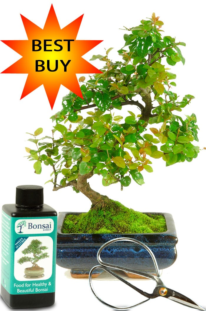 Best Buy Bonsai Tree Kit