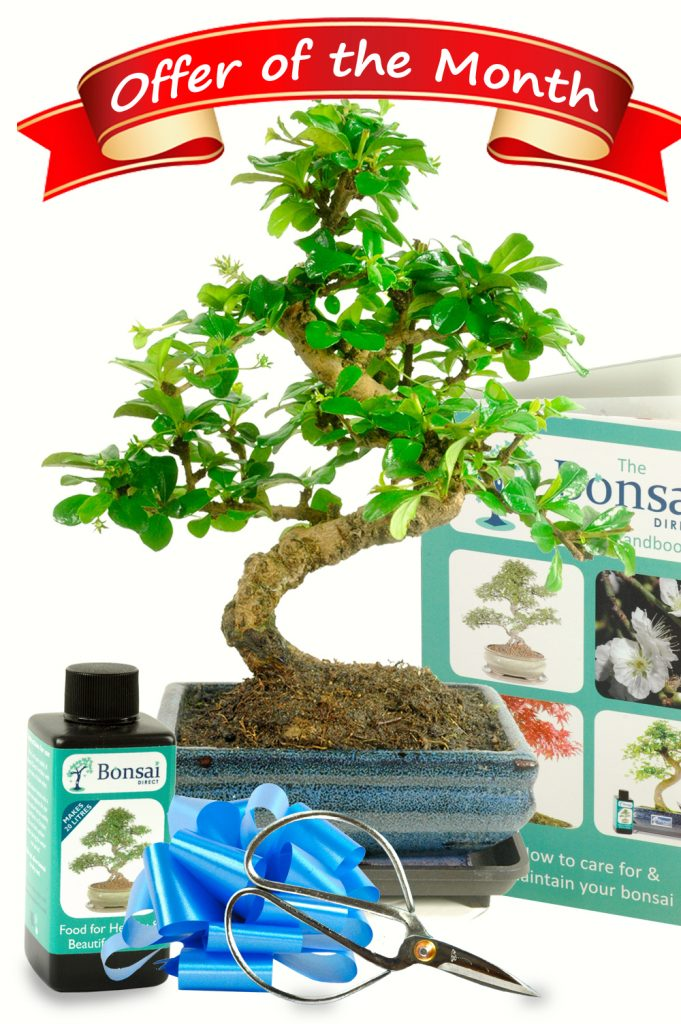 Bonsai Tree offer of the month