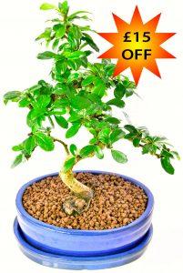 Beautiful flowering bonsai offer