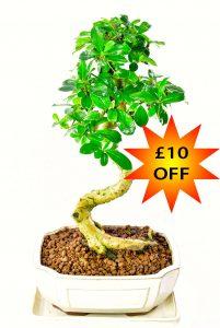 Pretty flowering bonsai offer