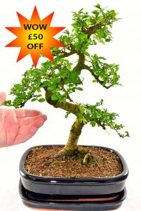 Exceptional bonsai tree offer