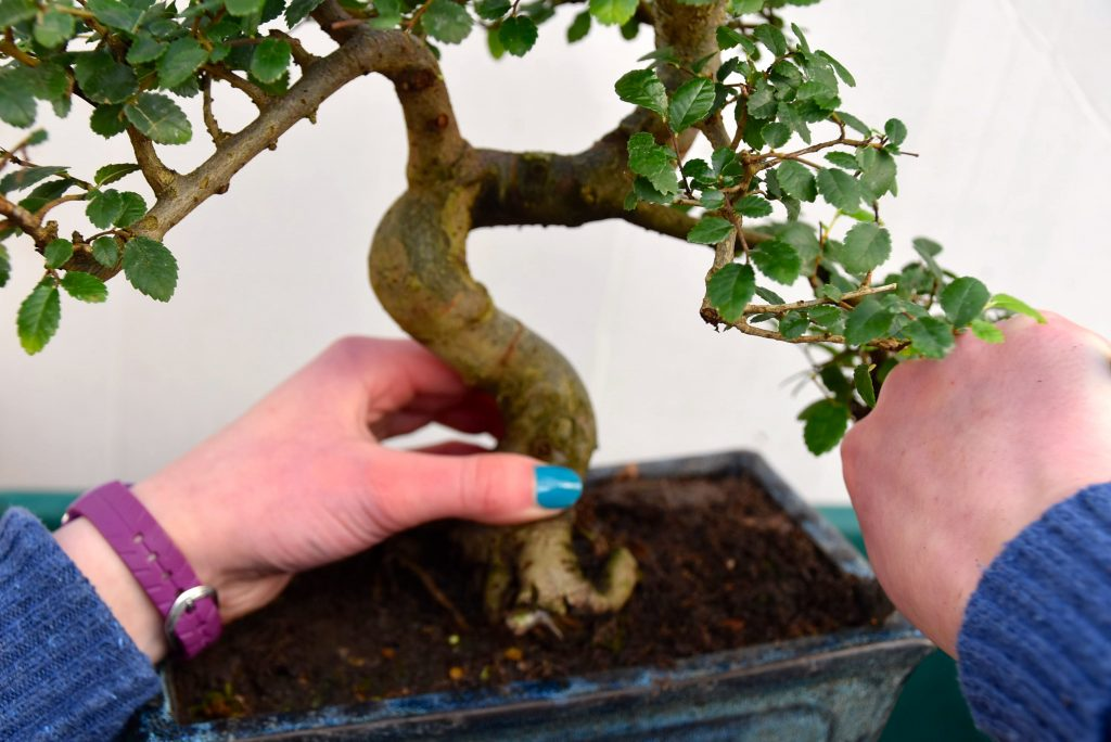 Re Potting My Chinese Elm Indoor Bonsai Tree