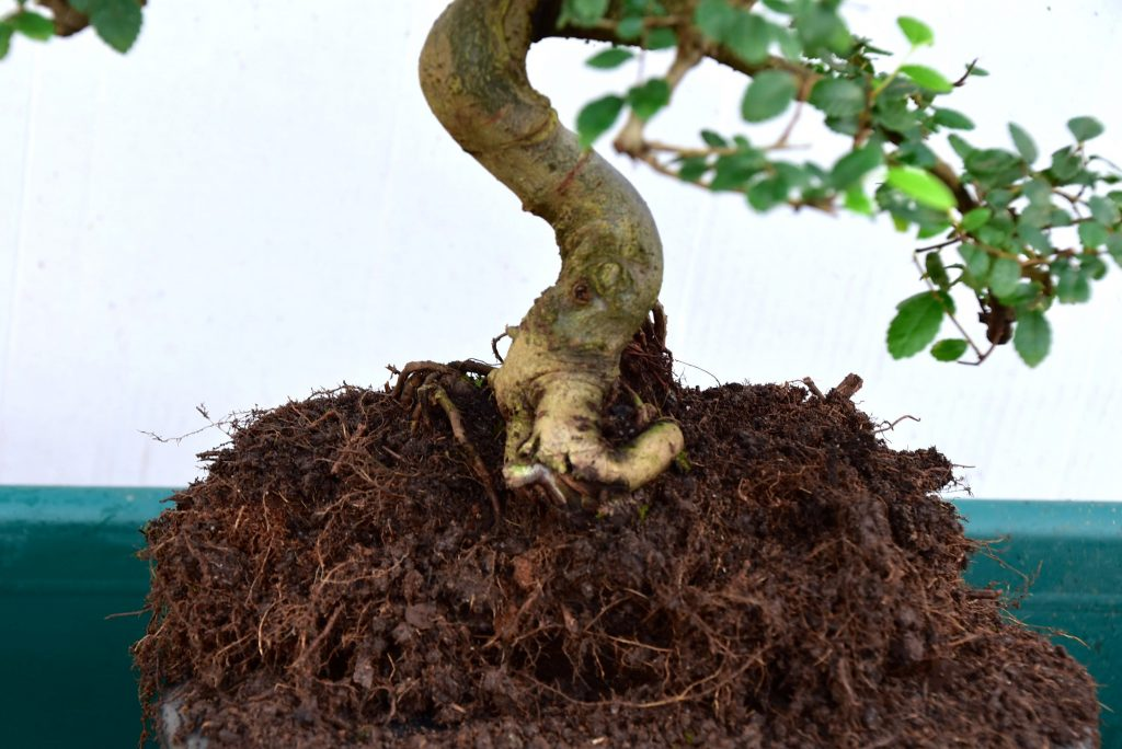 Loosen the roots of the bonsai