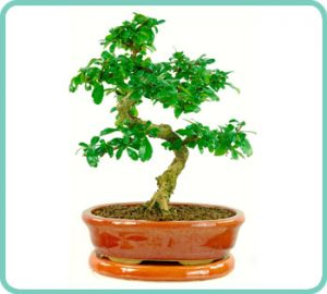Example of Carmona bonsai tree