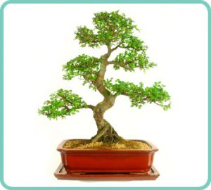 Example of Chinese Elmbonsai tree