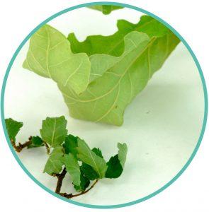 Crispy leaves on your bonsai