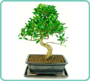 Example of Ficus retusa beginners bonsai