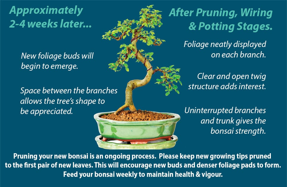 Bonsai pruning guide step 7
