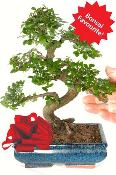 Our best selling beginners indoor bonsai tree