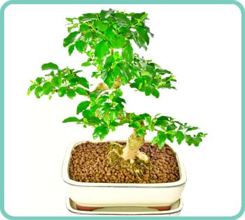 Ligustrum sinense beginners bonsai for sale