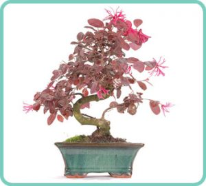 Chinese Blush Tree indoor bonsai