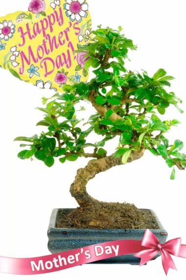 Mother day sensational flowering bonsai gift