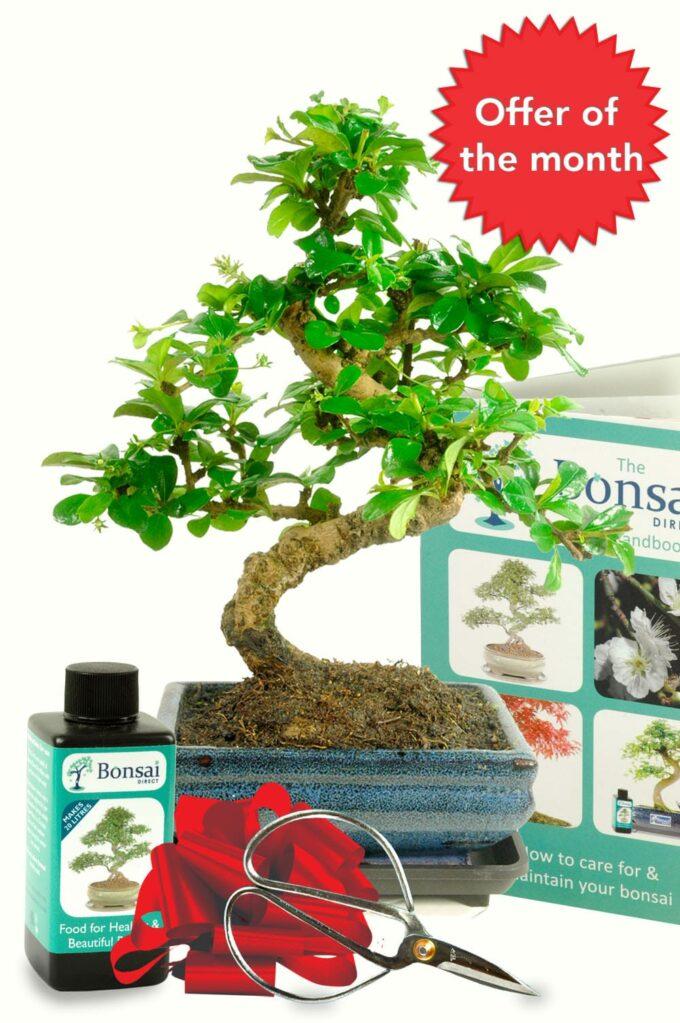 bonsai offer of the month December