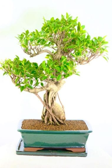 sensational and impressive 35 year old ficus bonsai for sale