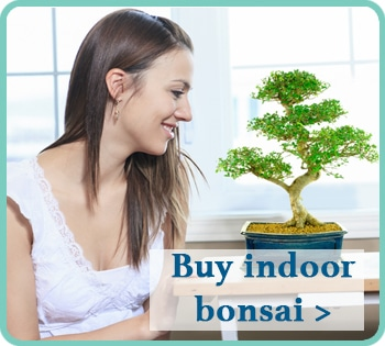 View our range of indoor bonsai for sale