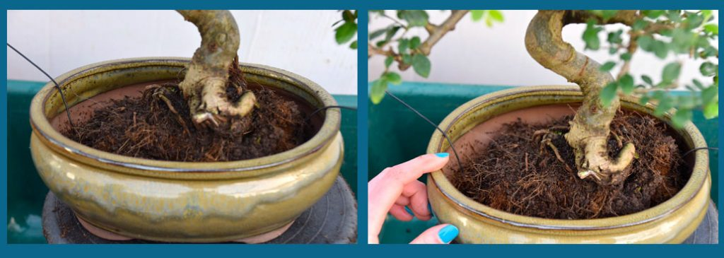Placing the bonsai in the new pot