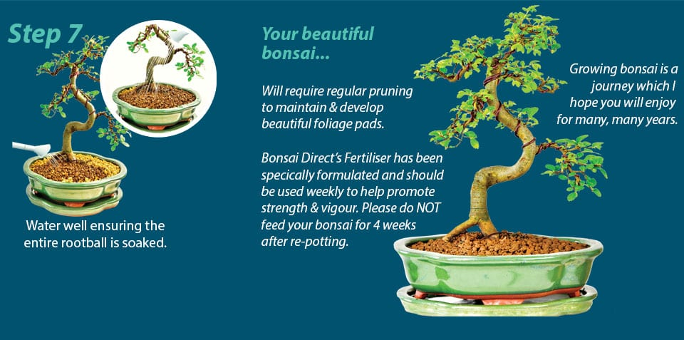 Potting Bonsai Trees A Step By Step Guide Bonsai Trees For Sale Uk