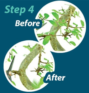Bonsai pruning guide step 4
