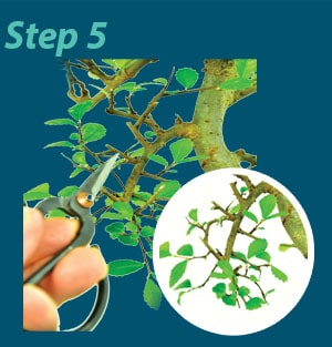 Bonsai pruning guide step 5