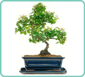 Example of Chinese Sweet Plum Bonsai