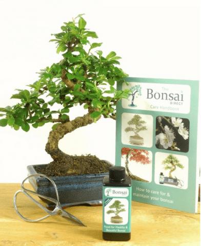 Beginners flowering indoor bonsai kit