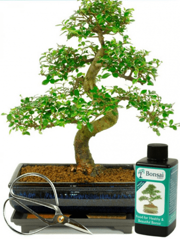 Large indoor Chinese elm beginners bosnai kit for sale
