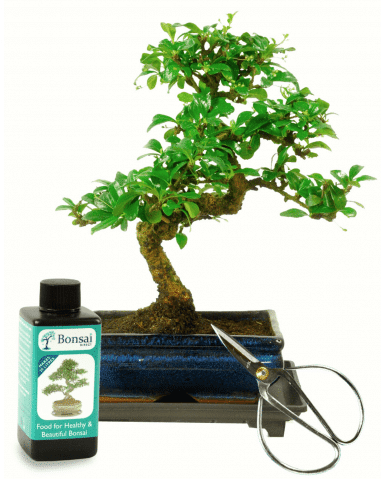 Beautiful bonsai tree kit for the office