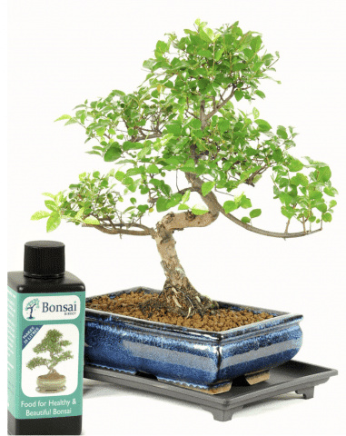 Bonsai tree for the office with feed & tray